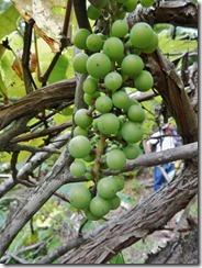 Wild grape cluster