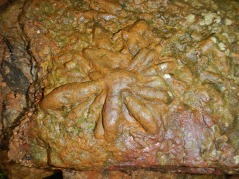 Asterosoma trace fossil in float