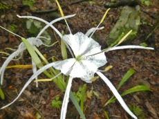 Spider lily?