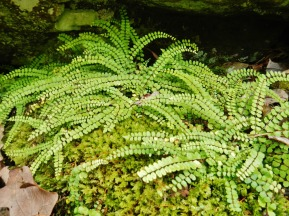 Ferns on Nubbin Ridge