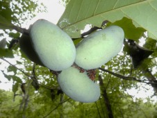 Paw paws on Middle Fork