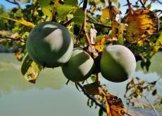 Green persimmons
