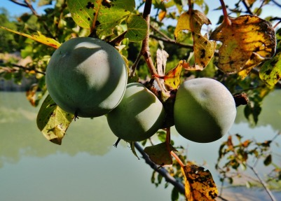 Green persimmons