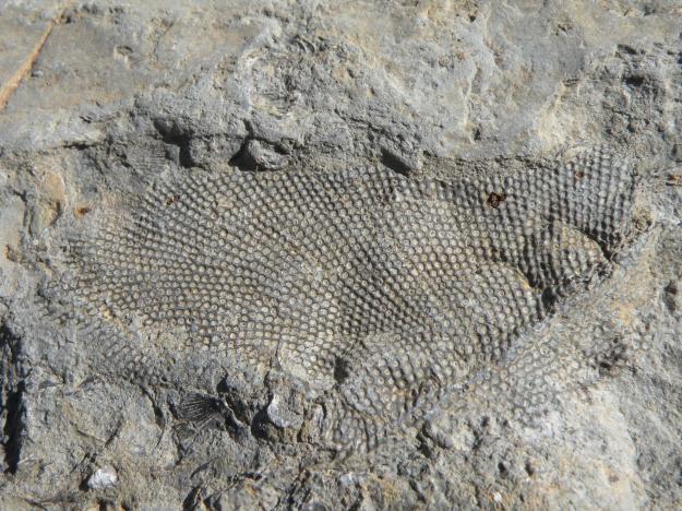 Fenestrate bryozoan in limestone