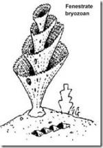 Fenestrate Bryzoan